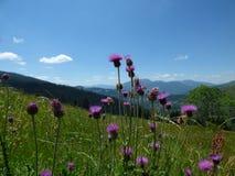 Fiori delle alpi di Dinaric, Montenegro Fotografia Stock Libera da Diritti