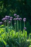Fiori delle cipolle contro luce solare fotografia stock