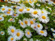 Fiori delle margherite bianche Fotografie Stock