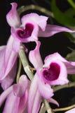 Fiori delle orchidee Immagini Stock Libere da Diritti