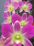 Fiori delle orchidee Fotografie Stock