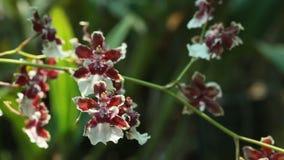 Fiori delle orchidee della fine marrone di colore su, fioritura dell'orchidea archivi video