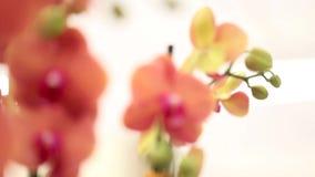 Fiori delle orchidee, vaghi archivi video