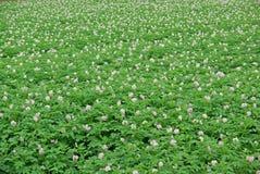 Fiori delle patate Fotografia Stock