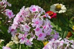 Fiori delle piante di giardino Fotografia Stock