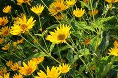 Fiori delle piante di giardino Immagine Stock