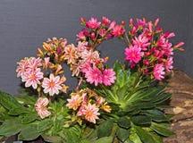 Fiori delle piante di lewisia Fotografie Stock Libere da Diritti