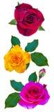 Fiori delle rose è isolata una festa Fotografia Stock Libera da Diritti