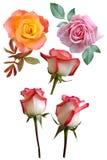 Fiori delle rose Fotografia Stock Libera da Diritti