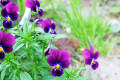 Fiori delle viole macro Immagini Stock Libere da Diritti