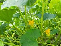 Fiori dello zucchini nel giardino fotografia stock libera da diritti
