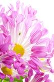 fiori dentellare Fotografia Stock Libera da Diritti