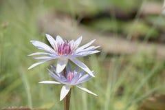 Fiori dentellare dei fiori del loto o del giglio di acqua Immagine Stock Libera da Diritti