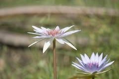 Fiori dentellare dei fiori del loto o del giglio di acqua Fotografie Stock