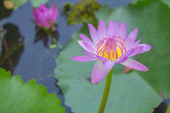 Fiori dentellare dei fiori del loto o del giglio di acqua Immagini Stock