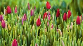 Fiori dentellare dei tulipani Ornamentale e fiori crescenti per progettazione ed i regali del paesaggio stock footage