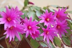 Fiori dentellare del cactus fotografia stock