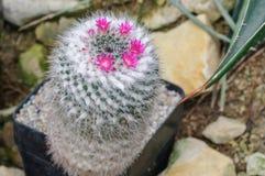 Fiori dentellare del cactus Immagini Stock Libere da Diritti