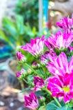 Fiori dentellare del crisantemo Fotografie Stock Libere da Diritti