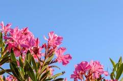 Fiori dentellare del oleander Fotografia Stock Libera da Diritti