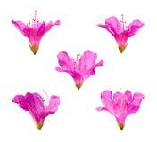 Fiori dentellare del rododendro Fotografia Stock Libera da Diritti