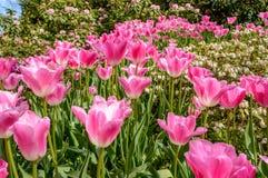Fiori dentellare del tulipano Fotografie Stock Libere da Diritti