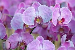 Fiori dentellare dell'orchidea Fotografia Stock