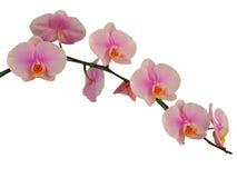 Fiori dentellare dell'orchidea Isolato su priorità bassa bianca Immagini Stock Libere da Diritti