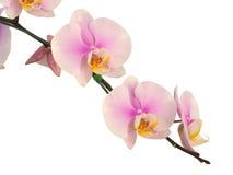 Fiori dentellare dell'orchidea Isolato su priorità bassa bianca Immagini Stock