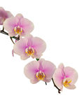 Fiori dentellare dell'orchidea Isolato su priorità bassa bianca Fotografia Stock