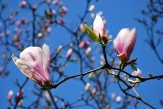 Fiori dentellare della magnolia Immagini Stock