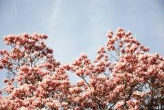 Fiori dentellare della magnolia Immagini Stock Libere da Diritti