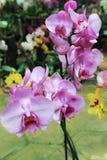 Fiori dentellare fragili dell'orchidea Fotografia Stock