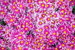 Fiori dentellare nel giardino fotografie stock libere da diritti