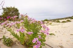 Fiori dentellare sulla duna Immagini Stock