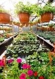 Fiori dentro una serra del Garden Center, foto grandangolare Immagini Stock