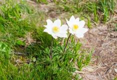 Fiori di alpina del Pulsatilla nelle montagne carpatiche Fotografie Stock Libere da Diritti