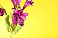 Fiori di Alstroemeria Fotografia Stock