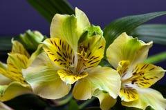 Fiori di alstroemeria di fioritura giallo con le foglie Immagine Stock