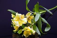 Fiori di alstroemeria di fioritura giallo isolati su fondo nero Fotografia Stock Libera da Diritti