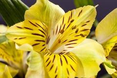 Fiori di alstroemeria di fioritura giallo su fondo scuro Fotografia Stock Libera da Diritti