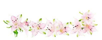 Fiori di Alstroemeria su fondo bianco Fotografie Stock