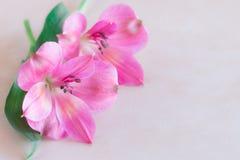 Fiori di Alstroemeria sul fondo crema di colore Fotografia Stock Libera da Diritti