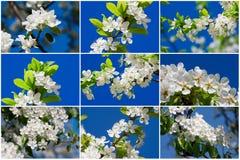 Fiori di Apple Fotografia Stock Libera da Diritti