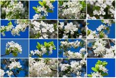 Fiori di Apple Fotografia Stock