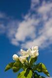 Fiori di Apple contro il cielo Fotografie Stock