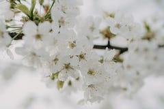Fiori di Apple nel giardino immagine stock