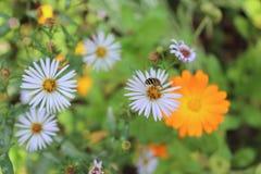Fiori di autunno Ape sul fiore fotografia stock