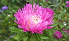 Fiori di autunno Astra rosa fotografia stock
