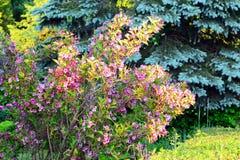 Fiori di bello weigela rosa Fotografia Stock
